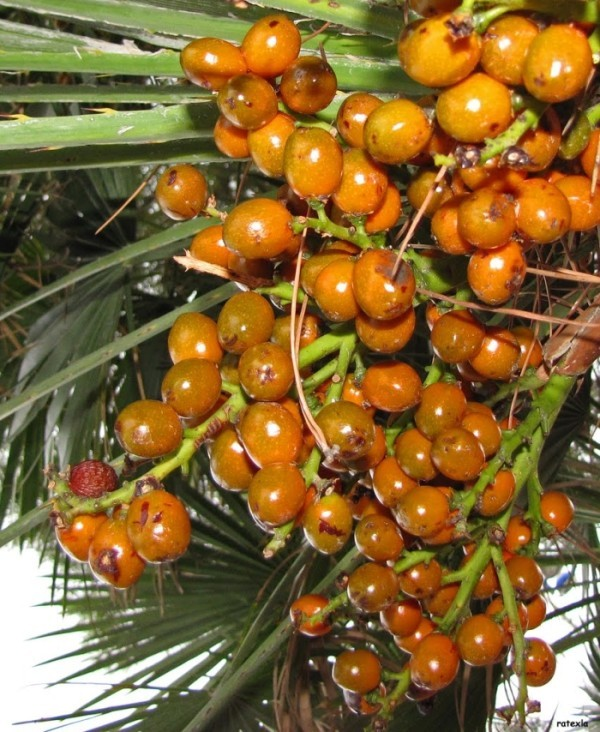 palmier nain - joie des mots