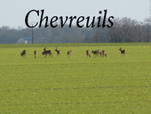 Chevreuils