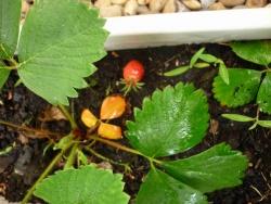 Nos fraisiers ont poussé !