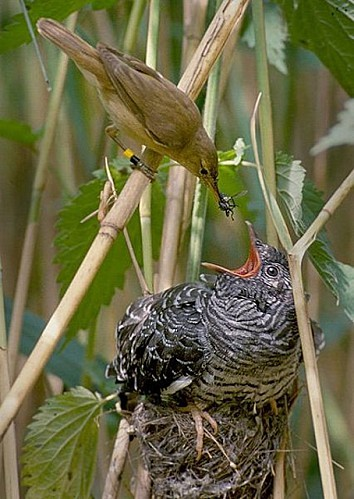 426px-Reed warbler cuckoo