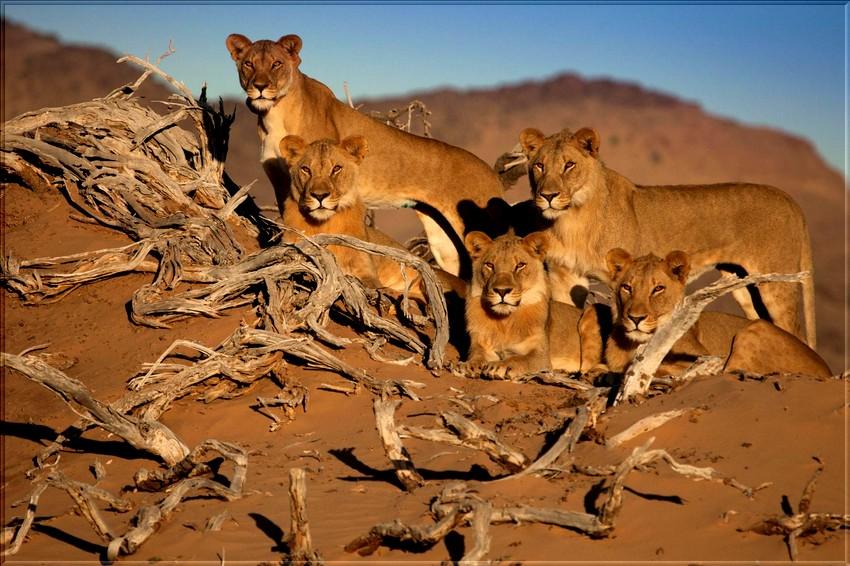 Le Lion du désert de Namib