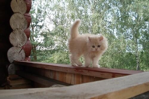 Cette fois ... c'est un chat funambule ... et très à son aise ....