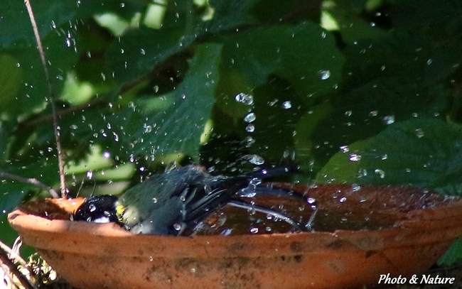 Mésange au bain