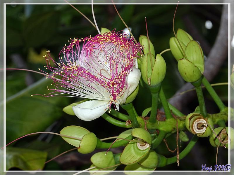 Badamier de l'Inde, Bonnet carré, Bonnet d'évêque, Sea poison tree (Barringtonia asiatica) - Nosy Sakatia - Madagascar