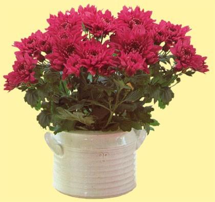 chrysanthemum.morifolium