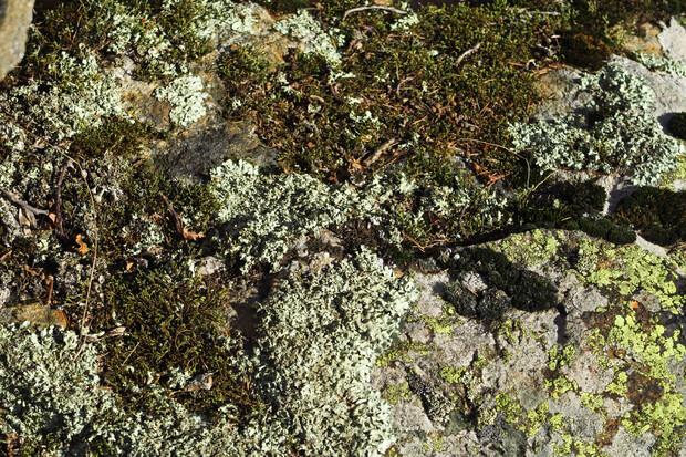 Au bord du chemin... les lichens