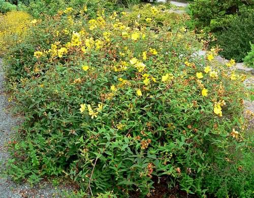Vertus médicinales des plantes sauvages : Millepertuis