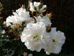 Les rosiers arbustifs