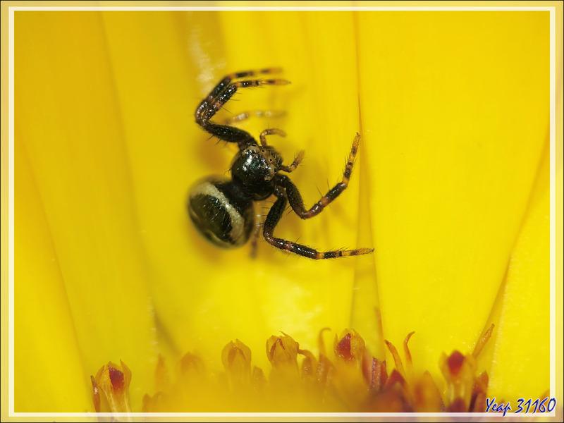 """Minuscule araignée """"Napoléon"""" noire, Thomise globuleux (Synaema globosum) - Lartigau - Milhas - 31"""