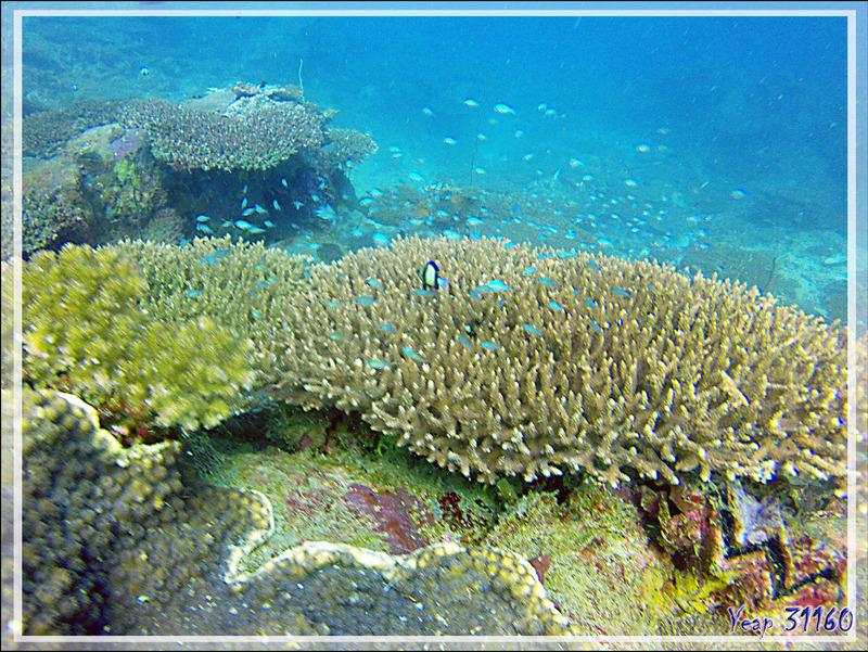 Corail aux Demoiselles - Nosy Tsarabanjina - Nosy Mitsio - Madagascar