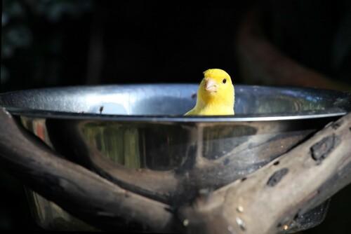 Etes-vous un canari?
