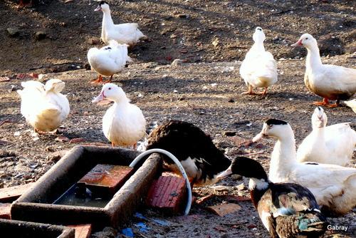 Un élevage de canards