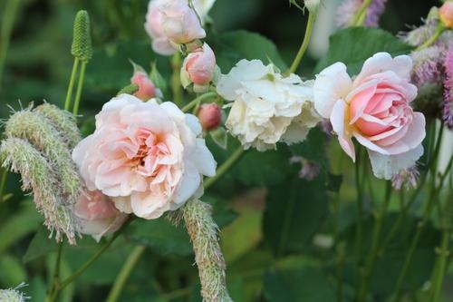 De nouvelles photos de rosiers