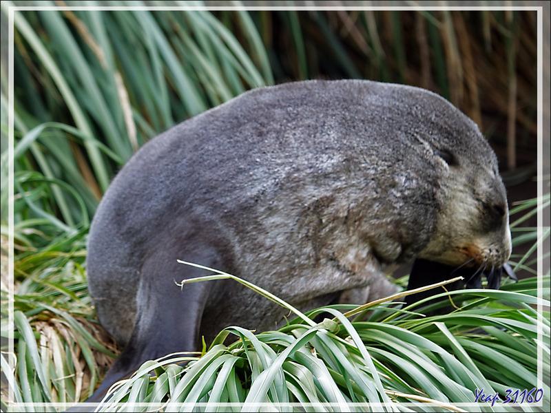 Otaries, Éléphants de mer  et oiseaux se cachent pour vivre et nicher dans l'herbe à tussak (Poa ou Parodiochloa flabellata) - Whistle Cove - Fortuna Bay - Géorgie du Sud