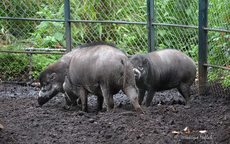 La Ménagerie, le zoo du Jardin des Plantes : Le sanglier des Visayas