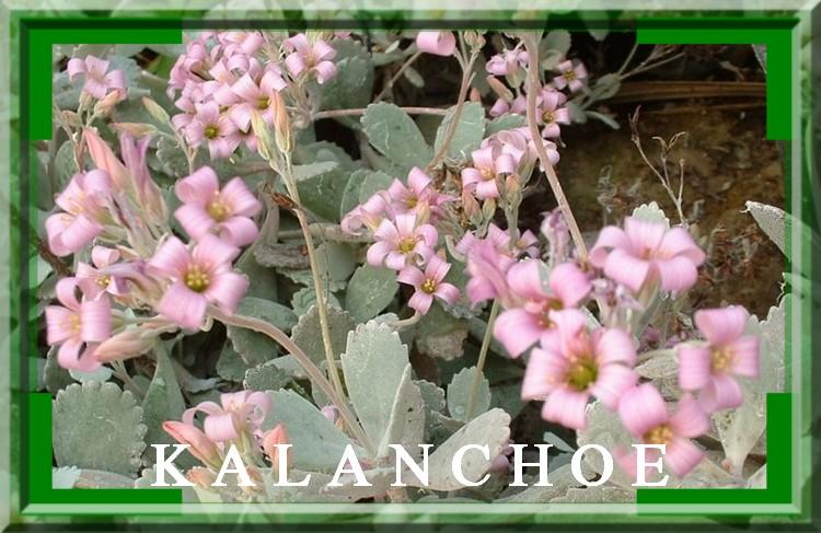 Fleurs cultivées :