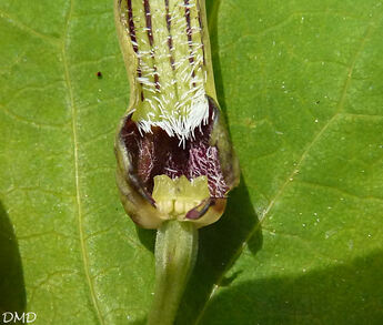 Aristolochia rotunda - aristoloche à feuilles rondes