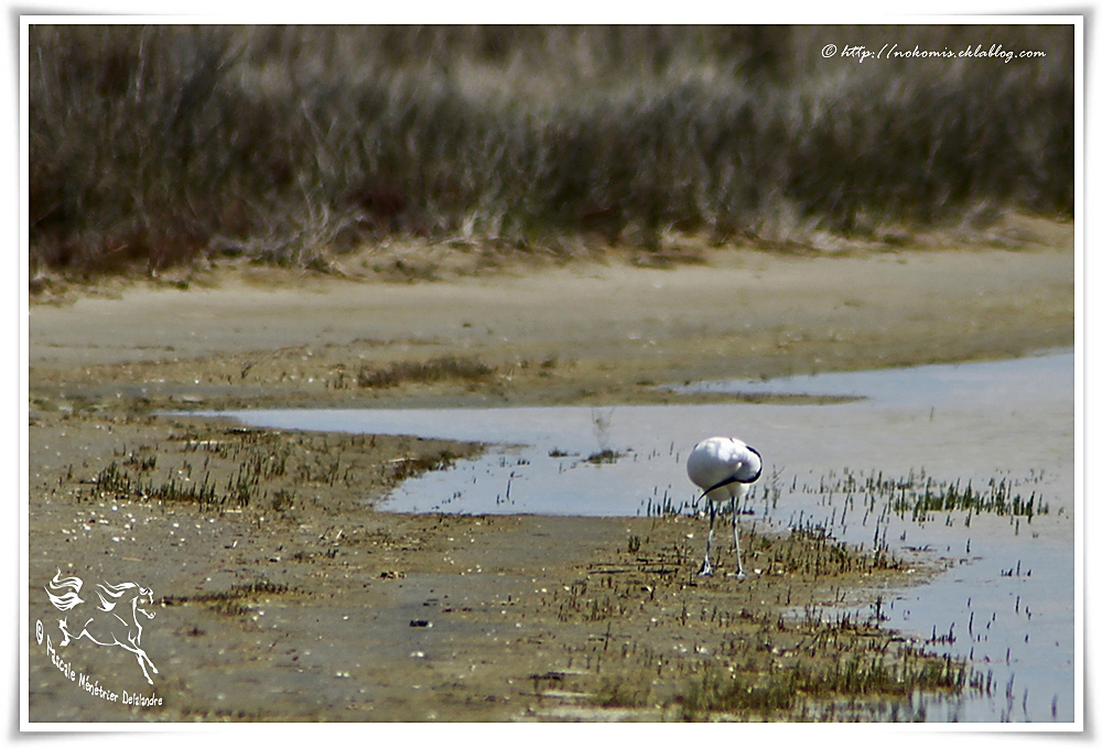 Avocette élégante - Recurvirostra avosetta