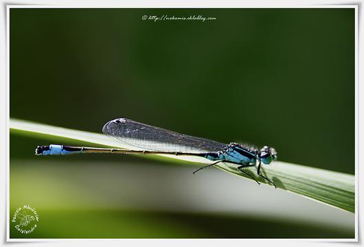 Ischnures élégantes - Ischnura elegans
