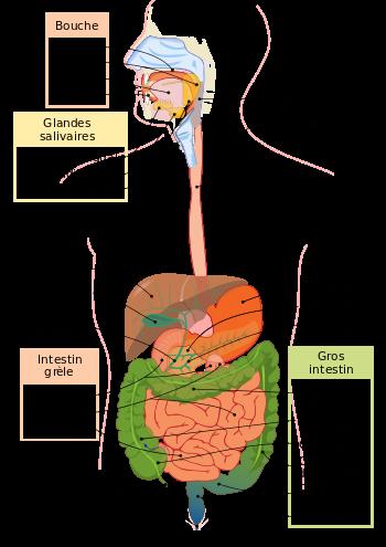 Système digestif schéma