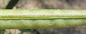 lathyruslatifoliusda