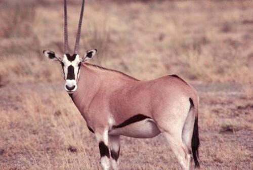 L'oryx beïsa