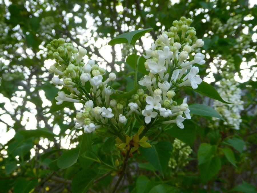 Des fleurs blanches, c'est pur!