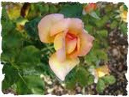 ~~ La rose et le soleil ~~