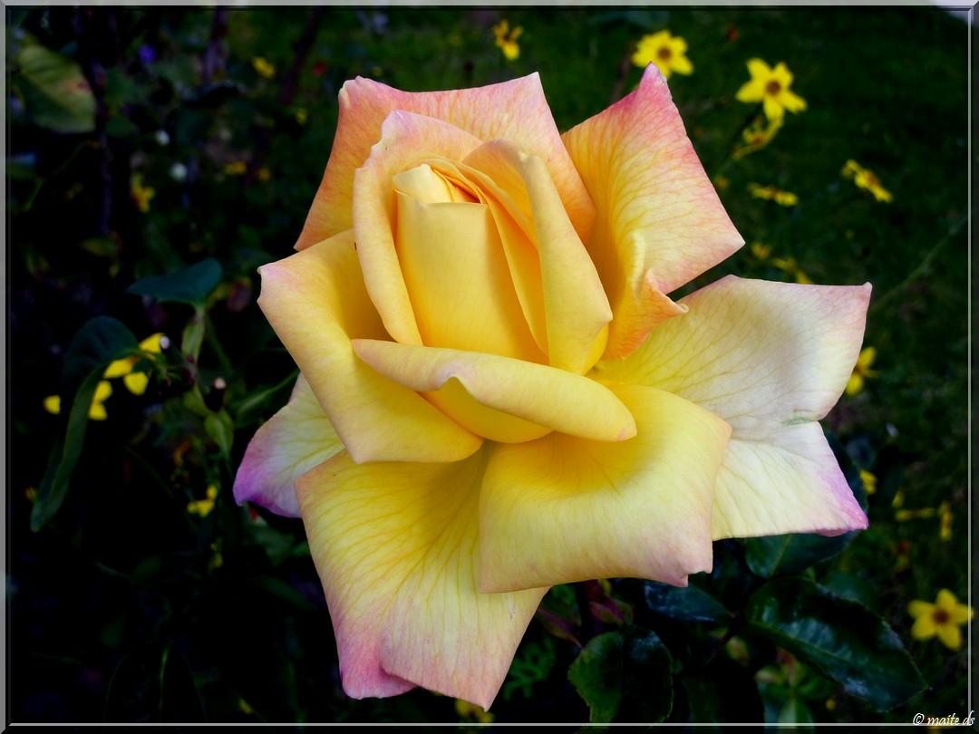 Rose de l'amitié pour notre ami Jacques