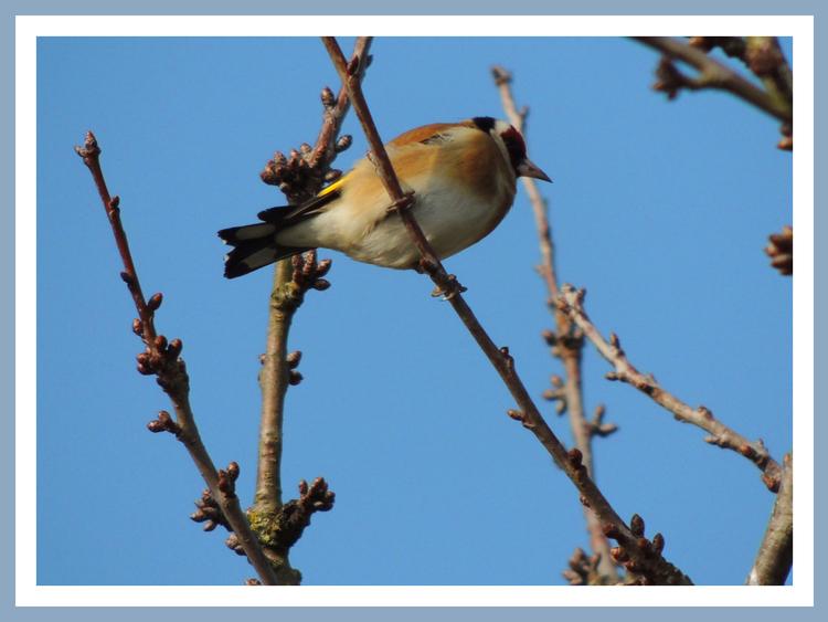 Oiseaux de nos jardins.Images gratuites.Tarin des aulnes.Mésange Charbonniere.