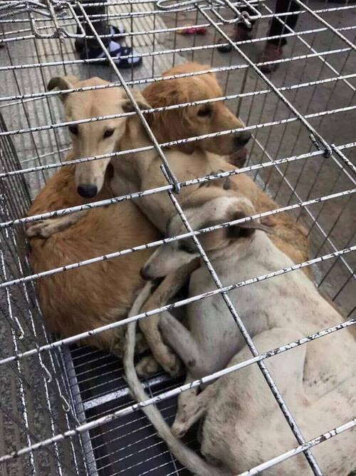 Les greyhounds irlandais vendus aux enchères , horrible mais vrai....