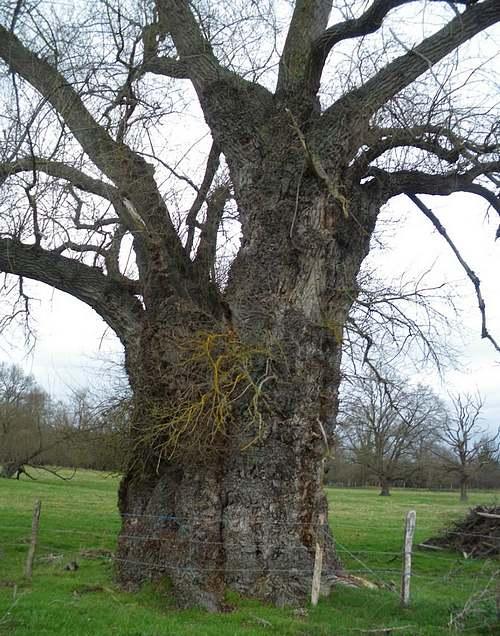Vertus médicinales des arbres : Peuplier noir
