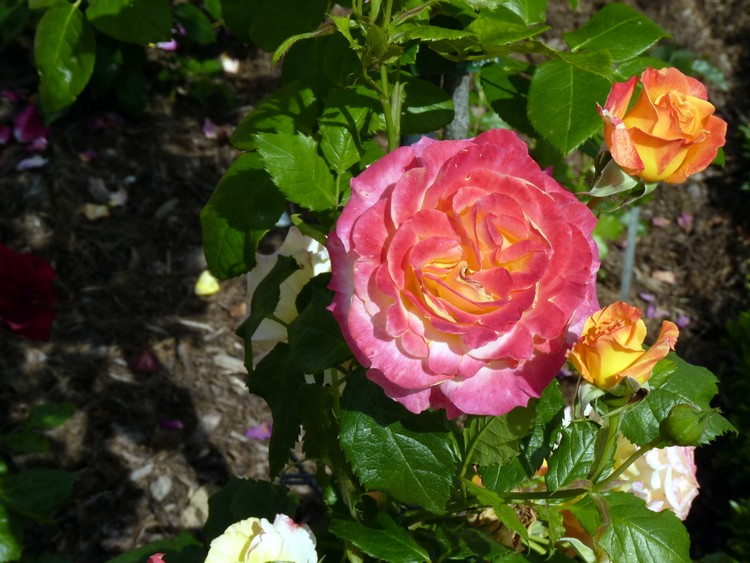 Roseraie du parc du Thabor