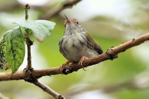 Couturière à longue queue (Common Tailorbird)