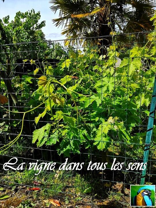La vigne !!!