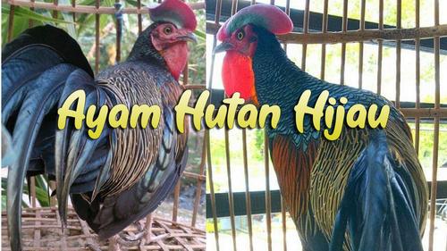 Ayo Mengenal Ayam Hutan Hijau Yang Terkenal