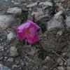 Rosier des montagnes ou églantier des montagnes (Rosa montana), au milieu du sentier