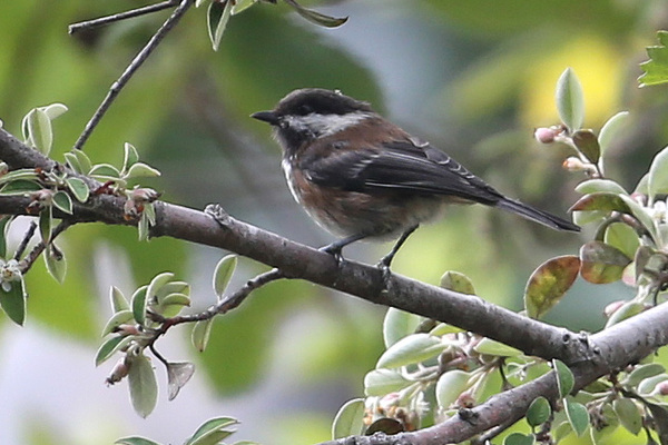 Chestnut-backed Chickadee - Little River Inn