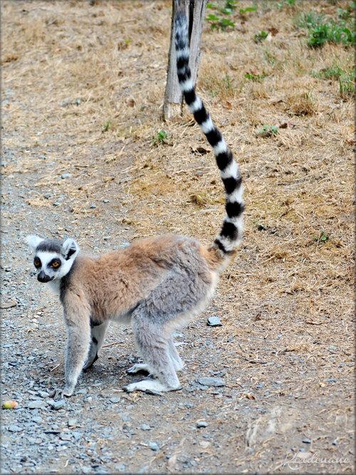 Photo de Maki Catta - Natur'Zoo de Mervent