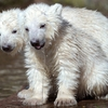 polar-bear-cubs_1857414i