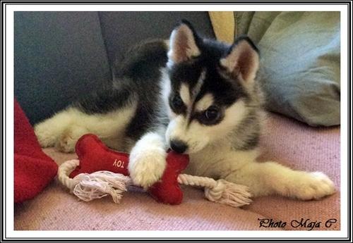 Les jouets de vos Huskys (26 avril 2014)