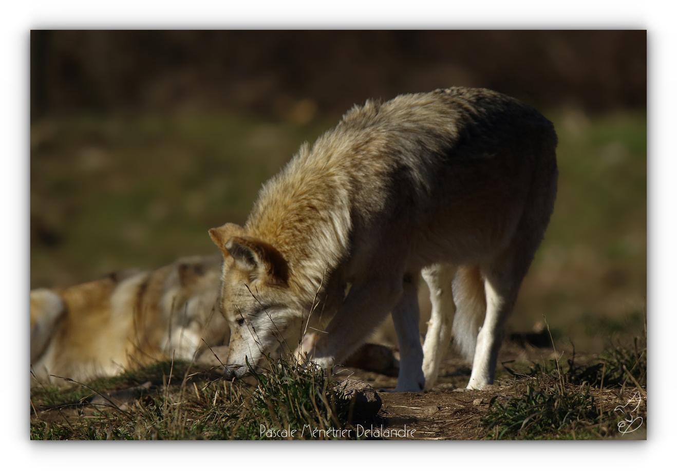 Loup de Sibérie