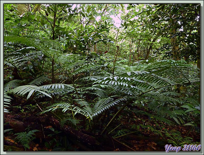Promenade en forêt - Vers le Col des Trois Cocotiers - Moorea - Polynésie française