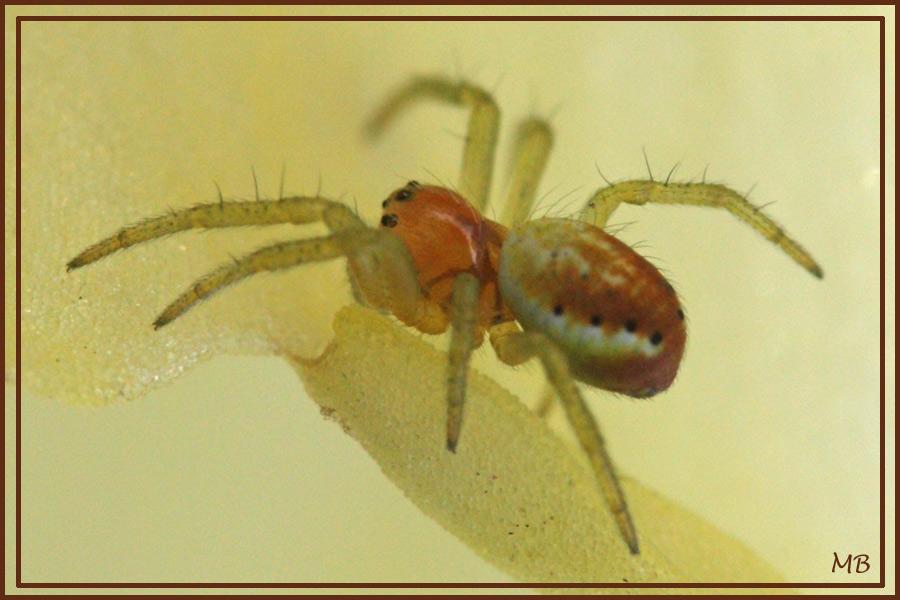 Araignée : Araniella