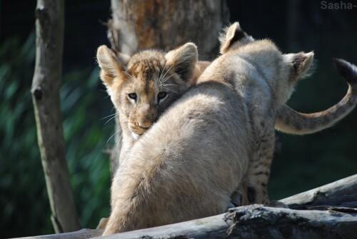 (20) Les petites princesses lionnes.