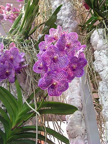 Orchidées 025