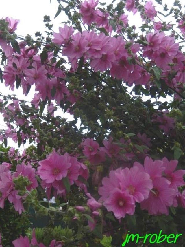 La lavatère , un arbuste d'une grande générosité en fleurs de Juin à Octobre