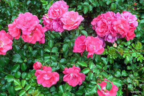 Belles roses !