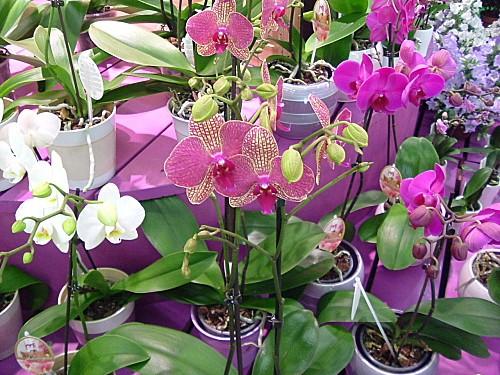 Orchidées 021