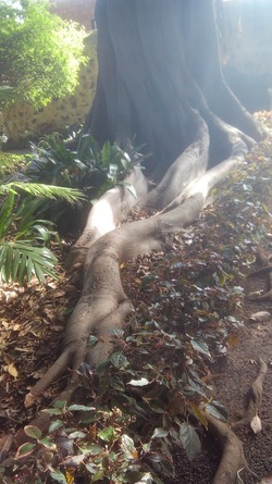Une autre curiosité du jardin botanique de Puerto de la Cruz : le figuier étrangleur ...
